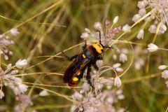 Сколія-гігант (Megascolia maculata)