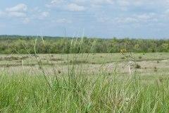 Ковила найкрасивіша (Stipa pulcherrima)