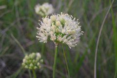 Цибуля жовтіюча (Allium flavescens)